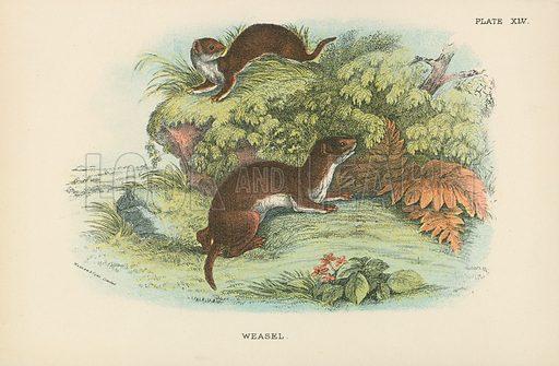 Weasel. Illustration for A Handbook to the British Mammalia by Richard Lydekker (Edward Lloyd, 1896).
