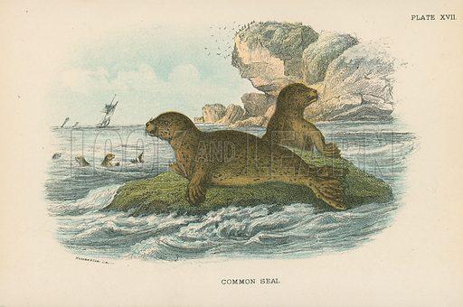 Common Seal. Illustration for A Handbook to the British Mammalia by Richard Lydekker (Edward Lloyd, 1896).