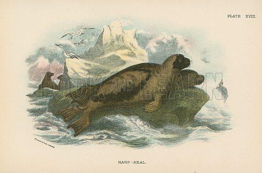 Harp-Seal. Illustration for A Handbook to the British Mammalia by Richard Lydekker (Edward Lloyd, 1896).