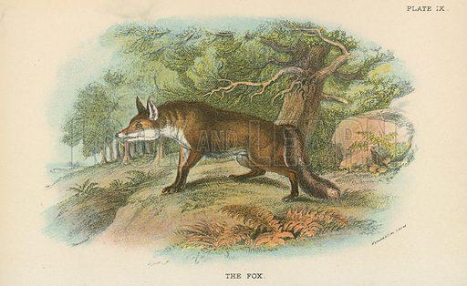 The Fox. Illustration for A Handbook to the British Mammalia by Richard Lydekker (Edward Lloyd, 1896).