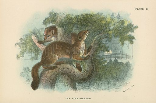 The Pine-Marten. Illustration for A Handbook to the British Mammalia by Richard Lydekker (Edward Lloyd, 1896).