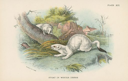 Stoat in Winter Dress. Illustration for A Handbook to the British Mammalia by Richard Lydekker (Edward Lloyd, 1896).