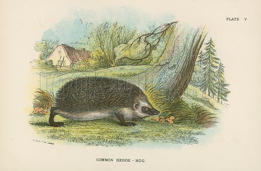 Common Hedge-Hog. Illustration for A Handbook to the British Mammalia by Richard Lydekker (Edward Lloyd, 1896).