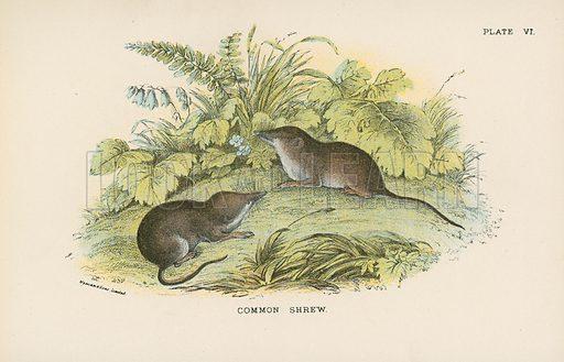Common Shrew. Illustration for A Handbook to the British Mammalia by Richard Lydekker (Edward Lloyd, 1896).