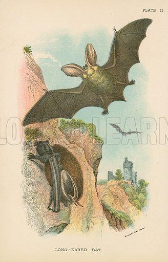 Long-Eared Bat. Illustration for A Handbook to the British Mammalia by Richard Lydekker (Edward Lloyd, 1896).