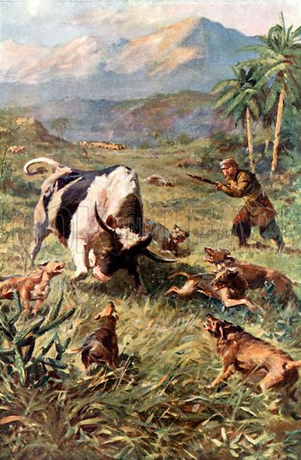 Hunting Wild Cattle in Haiti. Illustration for Pioneers in Tropical America by Sir Harry Johnston (Blackie, c 1920).