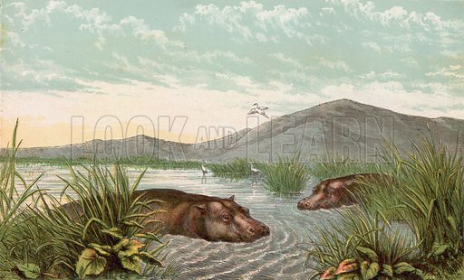Hippopotamus. Illustration for Aunt Louisa's Sunday Picture Book, printed in Colours by Kronheim (Frederick Warne, c 1890).
