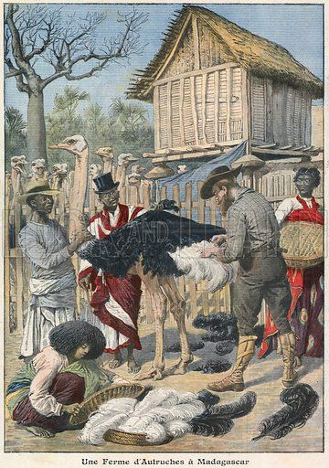 Ostrich farm in Madagascar