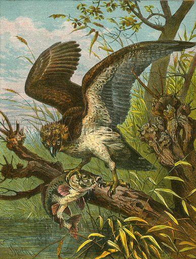 osprey, picture, image, illustration