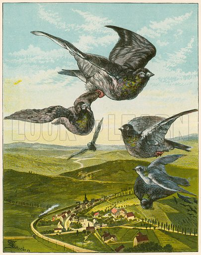 Carrier pigeons, picture, image, illustration