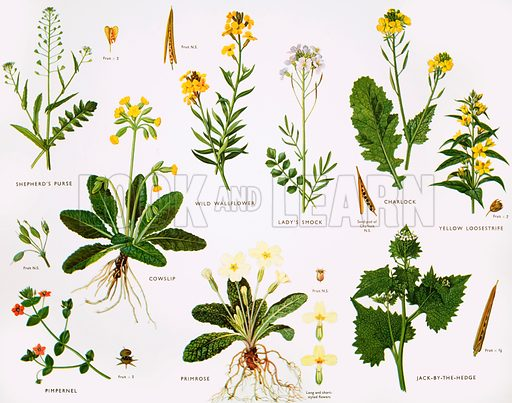 Wallflower and primrose families. Original poster for sale for £50 including VAT and postage within the UK.