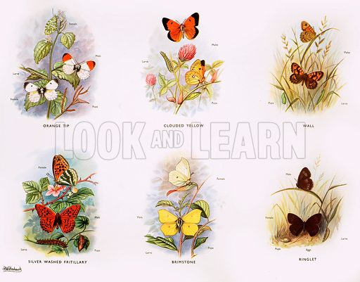 Stages in the life history of the butterflies. Original poster for sale for £50 including VAT and postage within the UK.