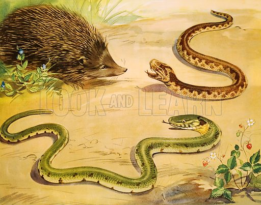 The unhappy grass snake. Macmillan poster. Original poster for sale for £50 including VAT and postage within the UK.
