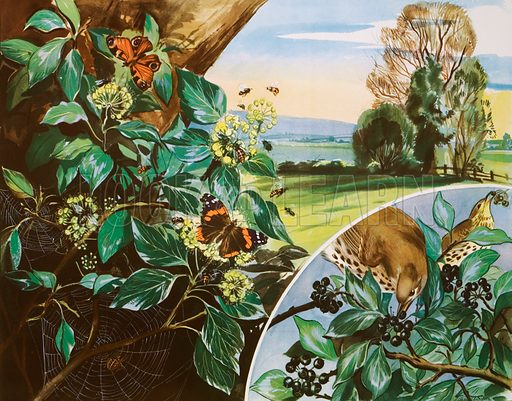 The brownie and the Ivy. Macmillan poster. Original poster for sale for £50 including VAT and postage within the UK.