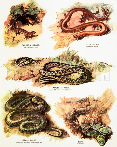 Lizards and snakes. Macmillan poster. Original poster for sale for £50 including VAT and postage within the UK.