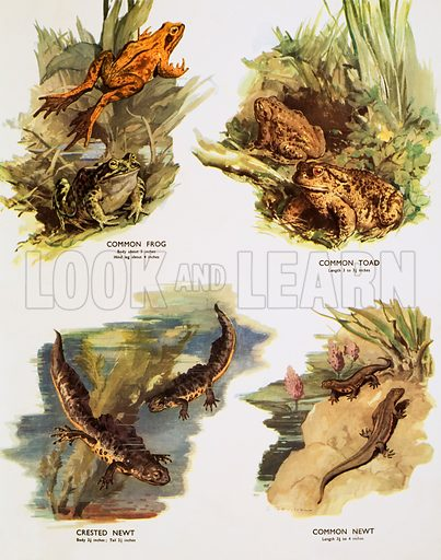 Amphibious animals. Macmillan poster. Original poster for sale for £50 including VAT and postage within the UK.