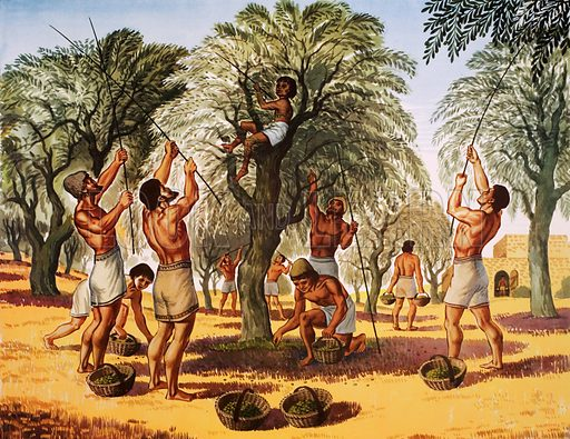 Gathering Olives in ancient Greece. Macmillan poster. Original poster for sale for £50 including VAT and postage within the UK.