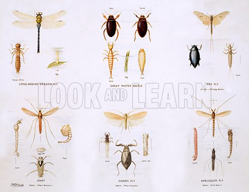 Pond insects. Macmillan poster. Original poster for sale for £50 including VAT and postage within the UK.