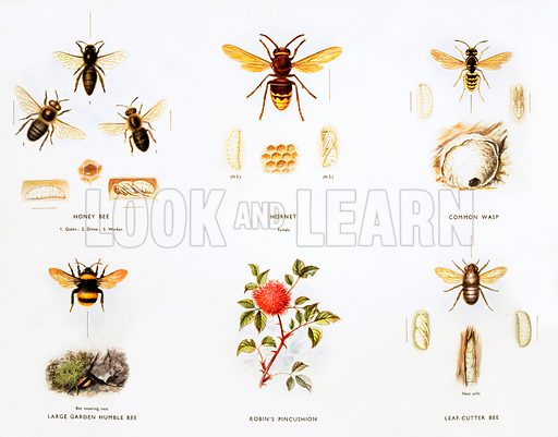 Stages in life history of bees and wasps. Macmillan poster. Original poster for sale for £50 including VAT and postage within the UK.