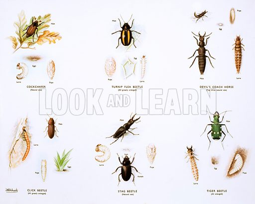 Stages in the life history of beetles. Macmillan poster. Original poster for sale for £50 including VAT and postage within the UK.