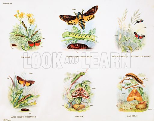 Stages in the life history of moths. Macmillan poster. Original poster for sale for £50 including VAT and postage within the UK.