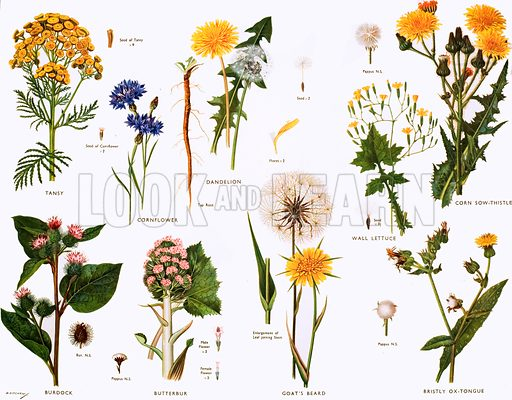 Daisy family. Macmillan poster. Original poster for sale for £50 including VAT and postage within the UK.