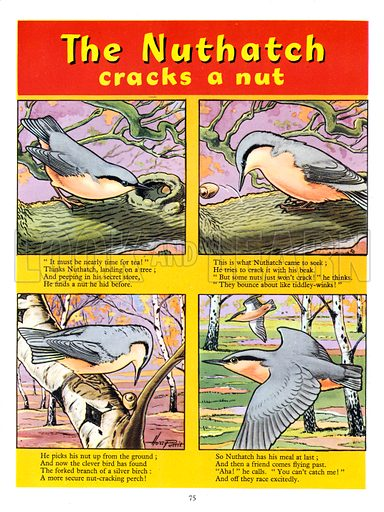 The Nuthatch Cracks a Nut. Illustration from Playhour Annual 1958.