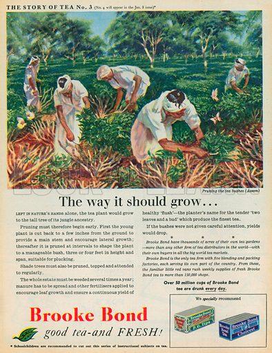 Brooke Bond Advertisement, 1954.