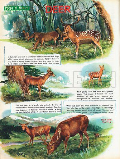 Deer shows species of deer with different seasonal coats.