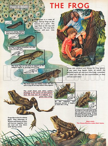 The frog shows the various stages between frog spawn, tadpole and fully grown frog.