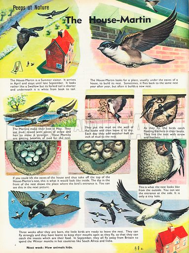 The House-Martin shows pictures in the life of a House-Martin, from nest-building to laying eggs, hatching to flying.