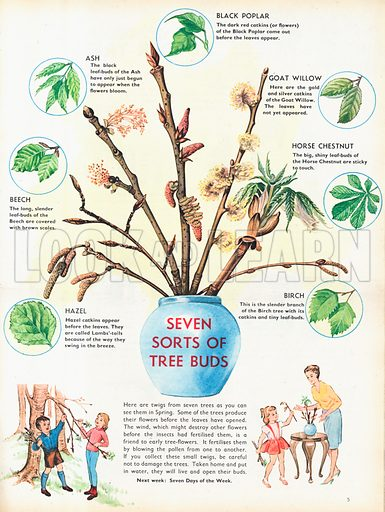 Seven sorts of tree buds shows a vase with budding twigs of trees and a circled image of the leaf when fully open.