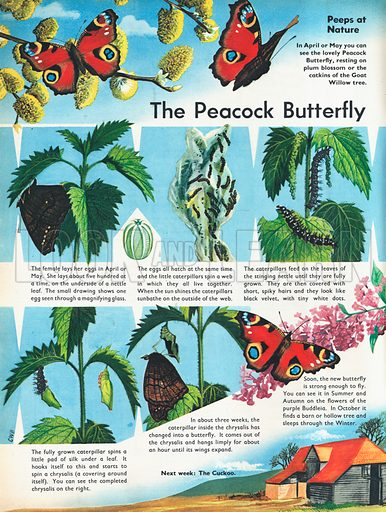 The Peacock Butterfly shows the various stages in the life of this insect from egg to caterpillar, chrysalis to butterfly.