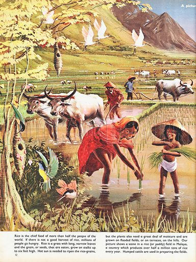 Rice shows a large rice or paddy field in Malaya, humped cattle ploughing the fields and children helping to plant them up, with three vignettes of people eating rice.
