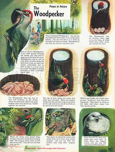 The woodpecker shows various pictures of life for a Spotted Woodpecker, from drilling its nest in the tree trunk to laying eggs, hatching, fledging and finally leaving the nest for good.