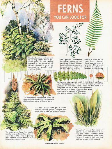 Ferns you can look for shows seven varieties as well as a spore-covered frond and a spore-case.