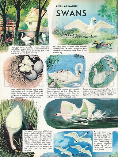 Swans shows various pictures of life for a swan, from laying eggs and hatching cygnets, to flight and migration.