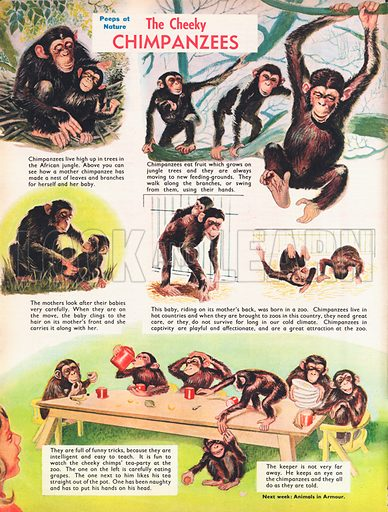 Cheeky chimpanzees shows various pictures of chimpanzees with their young and at play.