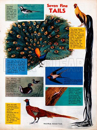 Seven birds with distinctive tails.