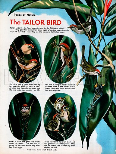 Pictres in the life of a Tailor Bird, from sewing its nest to feeding its newly hatched chicks.