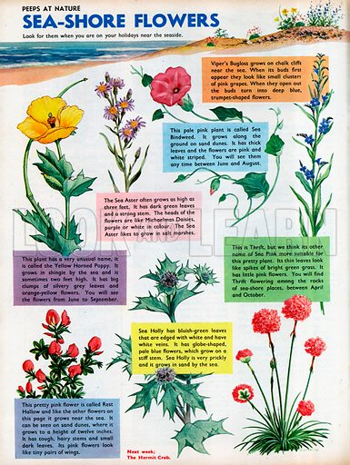 Seven different flowers which grow near the sea-shore.
