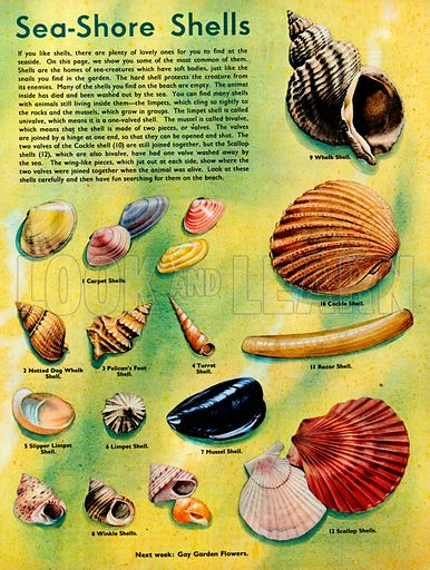 Several shells commonly found on the sea-shore.