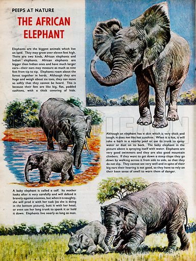 The African Elephant.