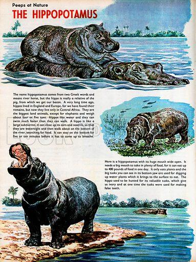 The Hippopotamus.