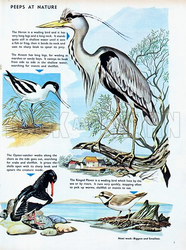 Diving and Wading Birds.