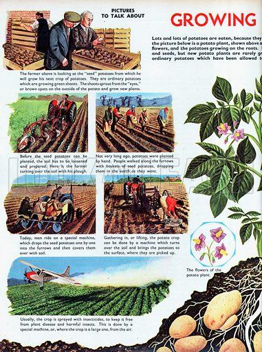 Growing Potatoes.