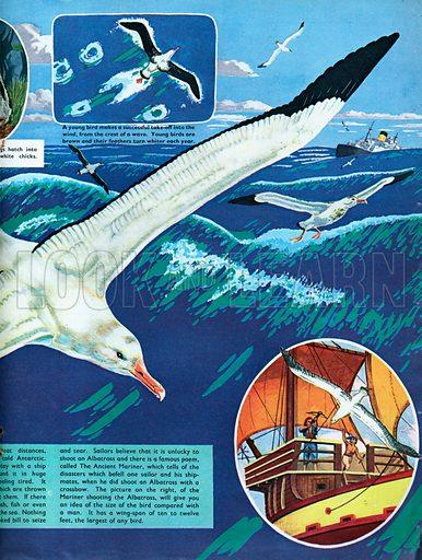 The Albatross.