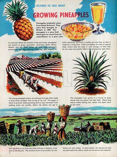 Growing Pineapples.