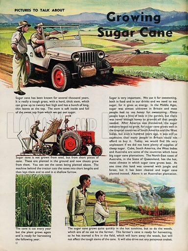 Growing Sugar Cane.