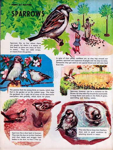Sparrows.
